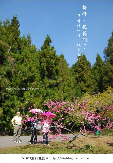 【梅峰農場桃花緣】最美的桃花隧道,就在南投梅峰這裡~(上)3