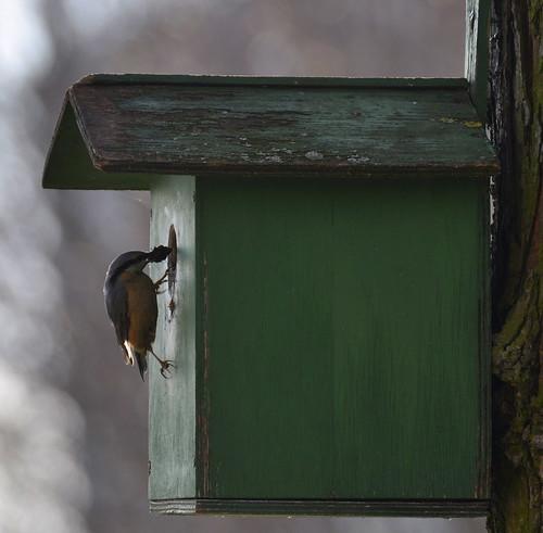 Kleiber baut sein Nest im Vogelhaus