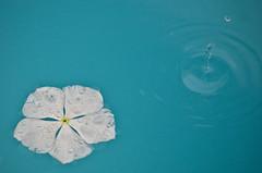 (amandinha_louzada) Tags: water gua flor chuva piscina branca pingo