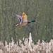 IMG_0469 Mallard drake, Brandon Marsh, Warwickshire 13Apr10