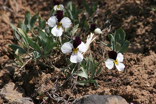 Viola trinervata - Umtanum Road