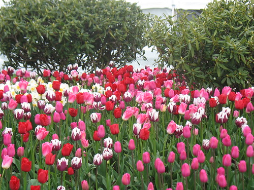Assorted purple and pink tulips.