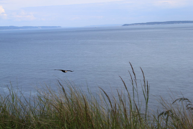 Bald Eagle in Flight at Fort Ebey State Park