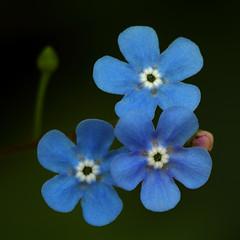 Forget-Me-Not (AnyMotion) Tags: flowers blue plants macro nature floral colors square spring colours blossom frankfurt ngc natur pflanzen blumen forgetmenot blau makro blüte farben vergissmeinnicht myosotis 2011 makroaufnahmen anymotion 800x800 canoneos5dmarkii 5d2