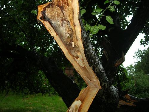 Grüner Boskop Sturmschaden 4