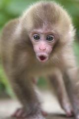 Saucy baby?(June 20,2011 Explore ) (Masashi Mochida) Tags: baby snow japan monkey nagano jigokudani coth supershot impressedbeauty natureselegantshots