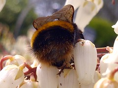 A Buff tailed Bumble bee (Bombus Terrestris)