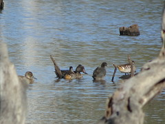 Freckled Duck (RJNumbat) Tags: freckled duck