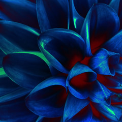 Smouldering Heart of the Blues (ecstaticist) Tags: dahlia blue canada hot flower color macro art texture vancouver photoshop square island high kyoto bc dynamic map interior columbia victoria petal heat pear british ember mapping range processed tone flaming hdr pp mapped smoulder saanich artisitic colorization tonemapped tonemapping impressedbeauty