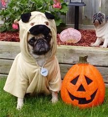 A One of a KInd Diva! (DaPuglet) Tags: pug pugs costume halloween holiday dog dogs puppy puppies pets animals funny cute humor lol meme october baileypuggins dapuglet dress pugcostume dogcostume pugception pumpkin coth coth5 alittlebeauty