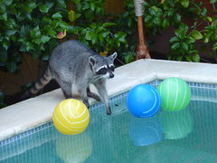 One of the more expensive hostels we checked out had a pet racoon... too cute!