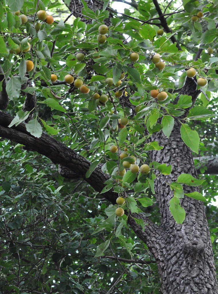 American Persimmon (Diospyros virginiana) 1