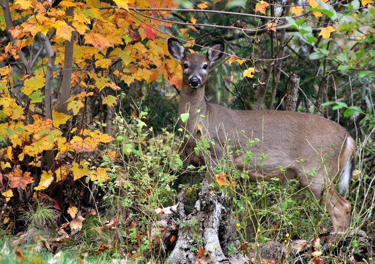 deer_0027