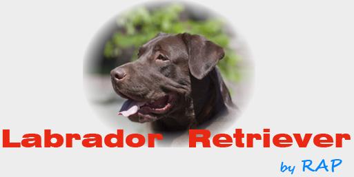 Todo sobre el Perro Labrador con Fotos Propias!