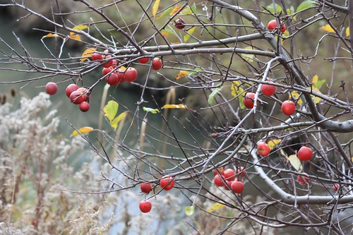 Crab apple tree by creek.