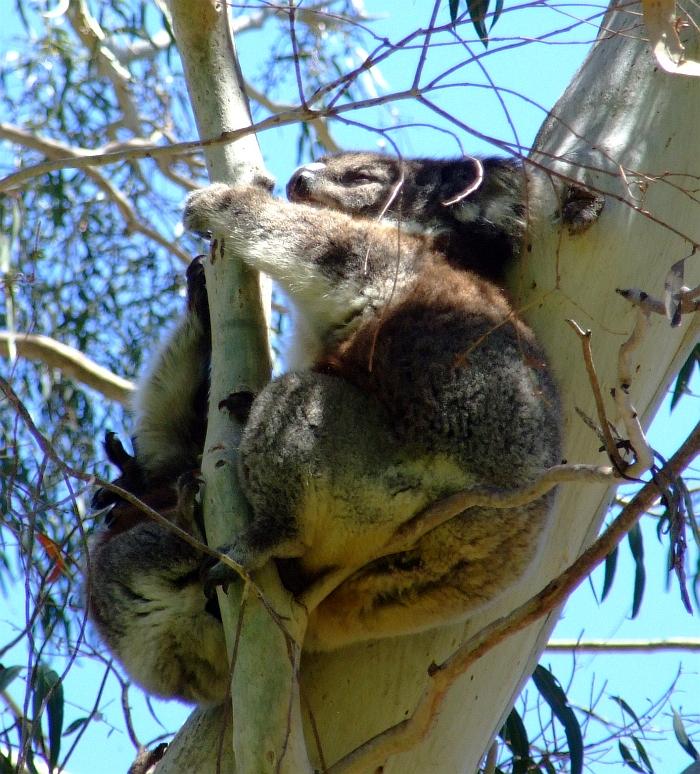momma koala and baby 01