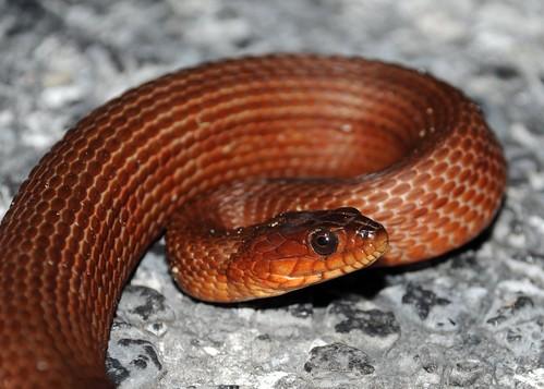 mangrove saltmarsh snake