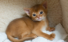 In My Corner (peter_hasselbom) Tags: red cats cat 50mm kitten flash kittens silla abyssinian sorrel 4weeksold cc100