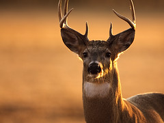 November Buck (Random Images from The Heartland) Tags: chris southdakota deer bailey buck whitetaileddeer chrisbailey bail56 songoftheprairie southdakotawhitetaileddeer chrisbaileyimages