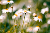 There's a daisy: I would give you some violets, but they withered all (harold.lloyd) Tags: orange flower green yellow bokeh violet daisy stalk ophelia not daisery yeeshmay18