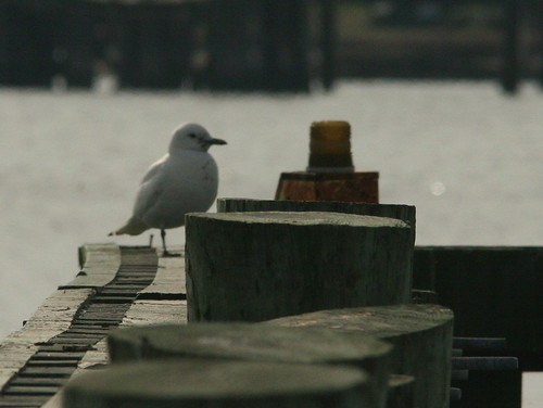Ivory Gull on piling 20091208