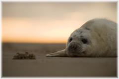 (lornarmac) Tags: cute beach fur grey coast wildlife lincolnshire seal naturereserve pup greyseal donnanook