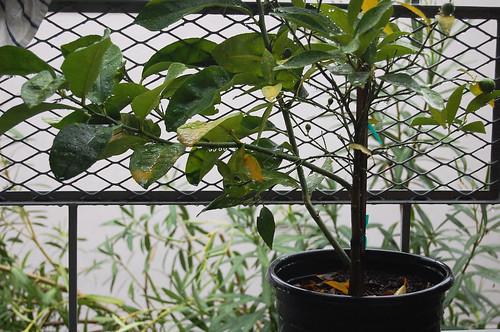kumquats, rain