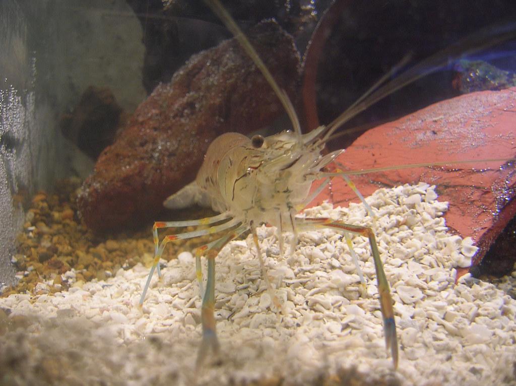 Other giant shrimp 09