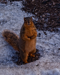 I Can Has Cheezburger? (ChongoIsDanegerous) Tags: camera food brown cute nature look animal fur wonder photography photo furry squirrel yum fuzzy snapshot picture adorable eat snack frame question brave dane hungry taste curious chomp ask daring morsel adventurous hillard sonyalphadslra200 danehillard