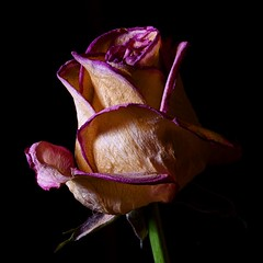 Dead Rose (Bucky O'Hare) Tags: pink plant flower macro art rose canon dark dead 350d artistic flash 100mm petal tokina