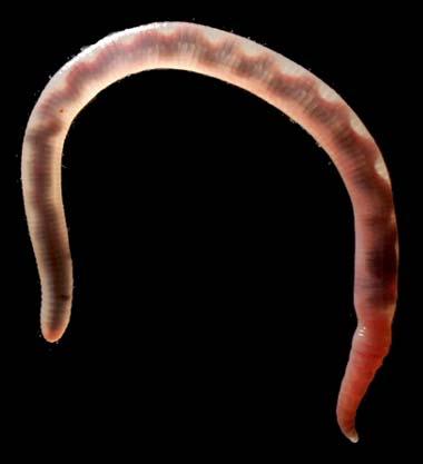 EarthwormBacklit