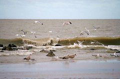 Surfing (eMMa_bOOm) Tags: sea sky seagulls holland beach nature water dutch birds waddenzee flying waves colours natural stones northsea ameland coloured curling fryslân waddensea hollum thedailypost curlingwave waddenisle