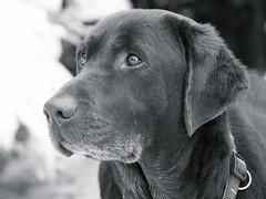 Luke (Bev Mason, LRPS) Tags: dog labrador chocolatelabrador