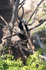 Happy Valentines Day from Daddy Gao Gao (Rita Petita) Tags: china california panda sandiego giantpanda sandiegozoo pandas gaogao