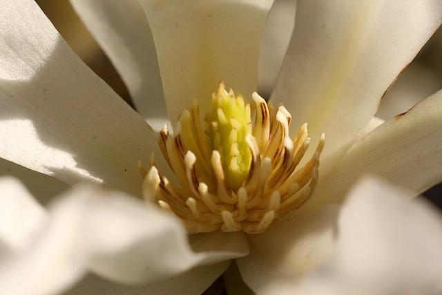 magnolia 2010