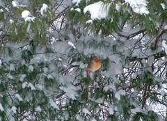 Cardinal in Snow (kman5847) Tags: winter snow birds outdoors cardinal newengland ct tqm