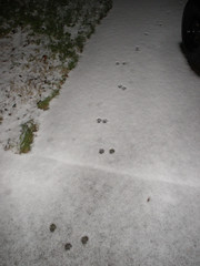 Kitty prints on the snowy drive