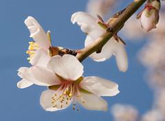 [フリー画像] [花/フラワー] [桜/サクラ] [ピンク/花]        [フリー素材]