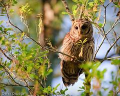 20100402-DSC_8177-Edit-2 (Derek Drudge) Tags: owls barred