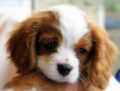 Lancer (KokkiesMom) Tags: dog puppy kingcharlescavalier brownandwhitedog