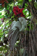 Hortus Leiden (Snoeziesterre) Tags: flowers red plants seed rood tropics planten bloemen tropisch vruchten zaden