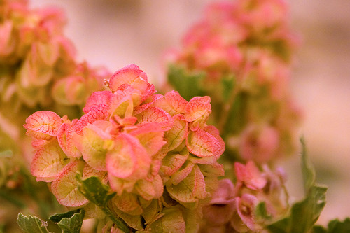 98.365_desert_flower