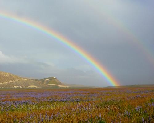 Lupine Double Rainbow