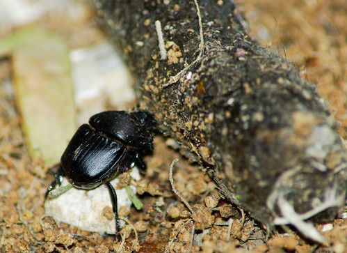 Dung Beetle with Dung