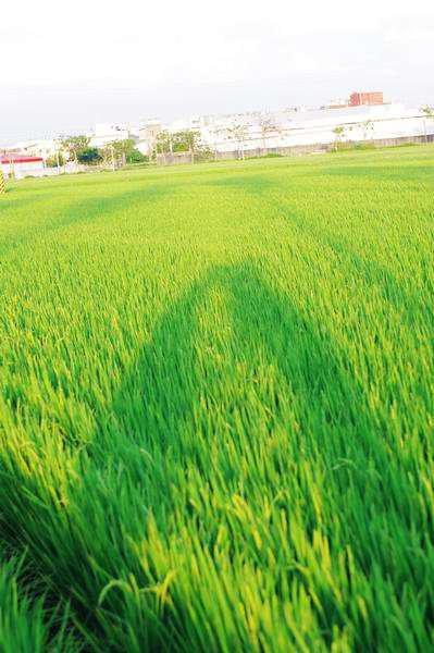 稻田間散步~
