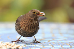 Female blackbird with suet pellet (markrellison) Tags: uk wild urban birds female garden iso800 northwest unitedkingdom wildlife urbanwildlife blackbird lightroom f40 420mm gardenbird lr4 1500sec ef300mmf28lisusm14x canoneos5dmarkiii lightroom4