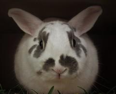 Berry (sodorasodi) Tags: bunny animal rabbit cute adorable love pet cony sweet