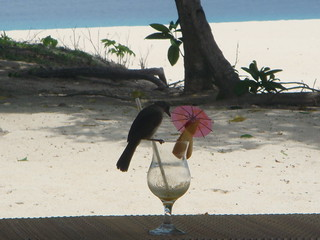 Club Paradise, Palawan - Island bird loving the cocktails!