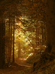 The way out of the dark forest (natasa10) Tags: autumn trees tree green fall nature leaves sunshine yellow vertical fairytale forest outdoors photography gold golden woods day mood path branches nopeople slovenia slovenija exit magical yellowlight talltrees colorimage beautyinnature the4elements podporezen