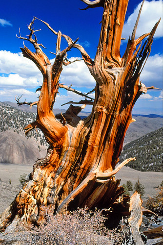 Ancient Bristlecone Pine, White Mountains, California